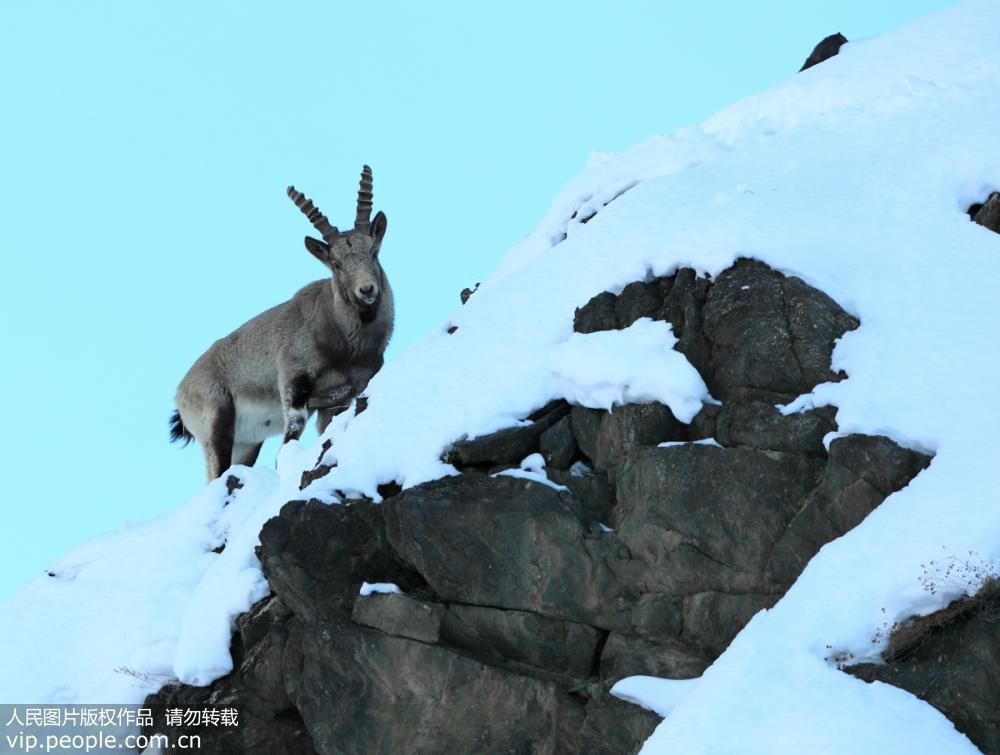摄影爱好者新疆拍摄到国家一级保护动物北山羊
