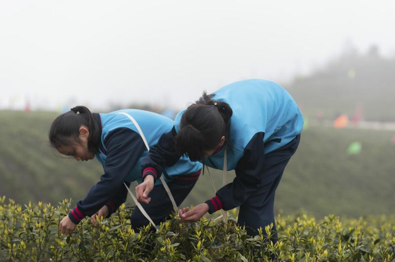 贵州仁怀:中学生采春茶学农事【4】
