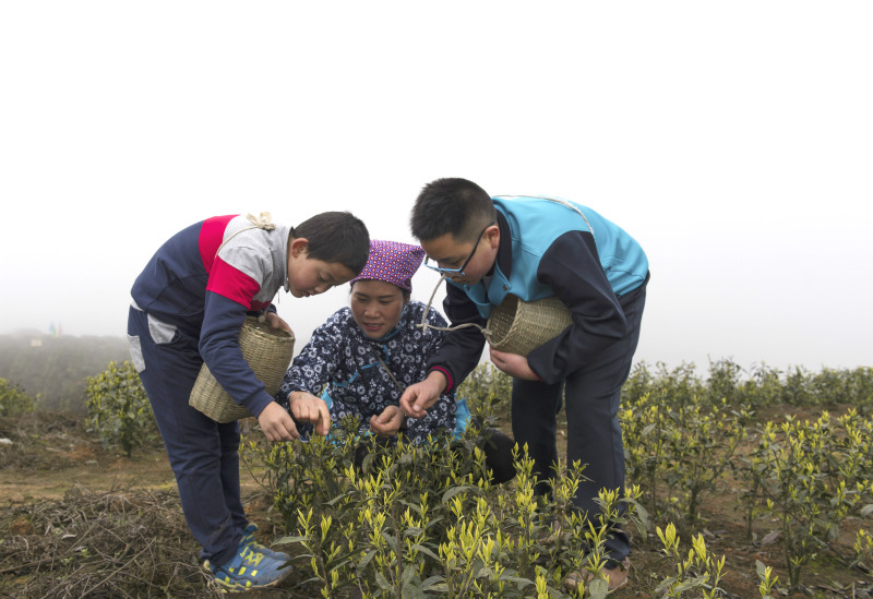 贵州仁怀:中学生采春茶学农事【3】