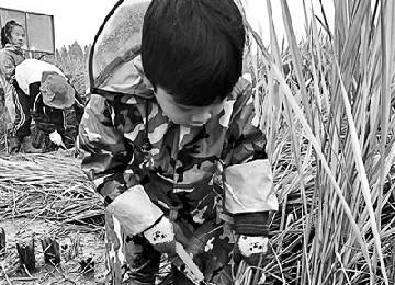 幼儿割水稻体验食育课