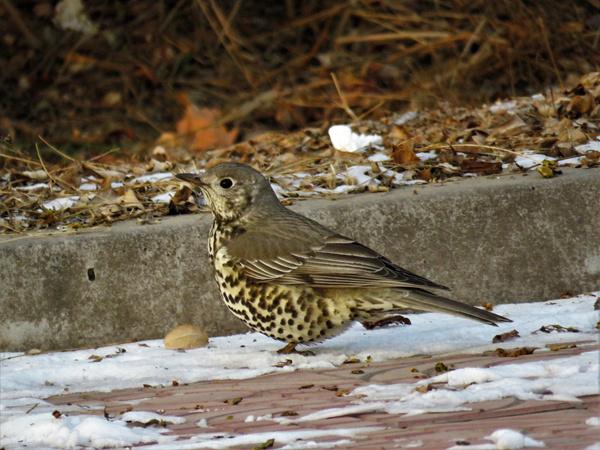 兰州大学发现甘肃鸟类分布新记录种——槲鸫