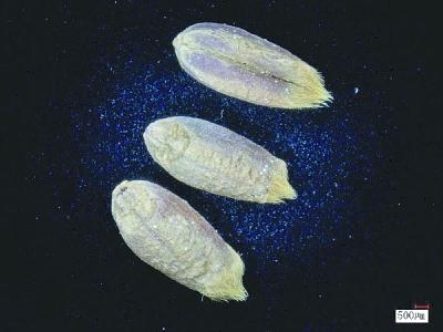 世界首次!我科學家成功破譯古小麥全基因組